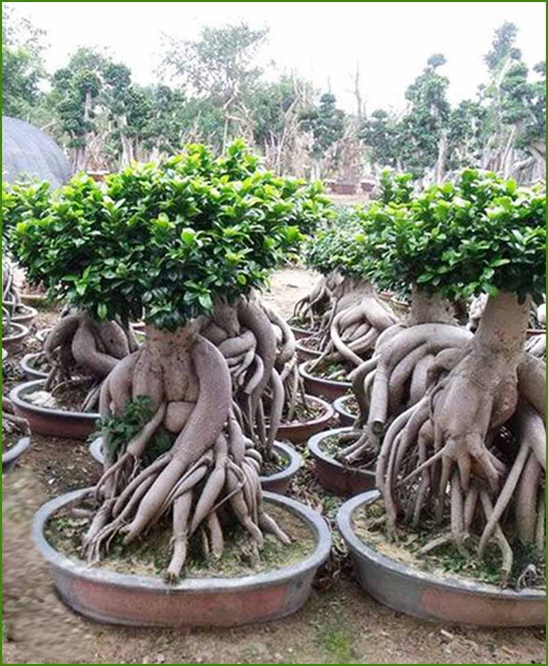 Ficus Microcarpa 5000 Grams Bonsai (Ficus Ginseng Bonsai 5000 Grams)
