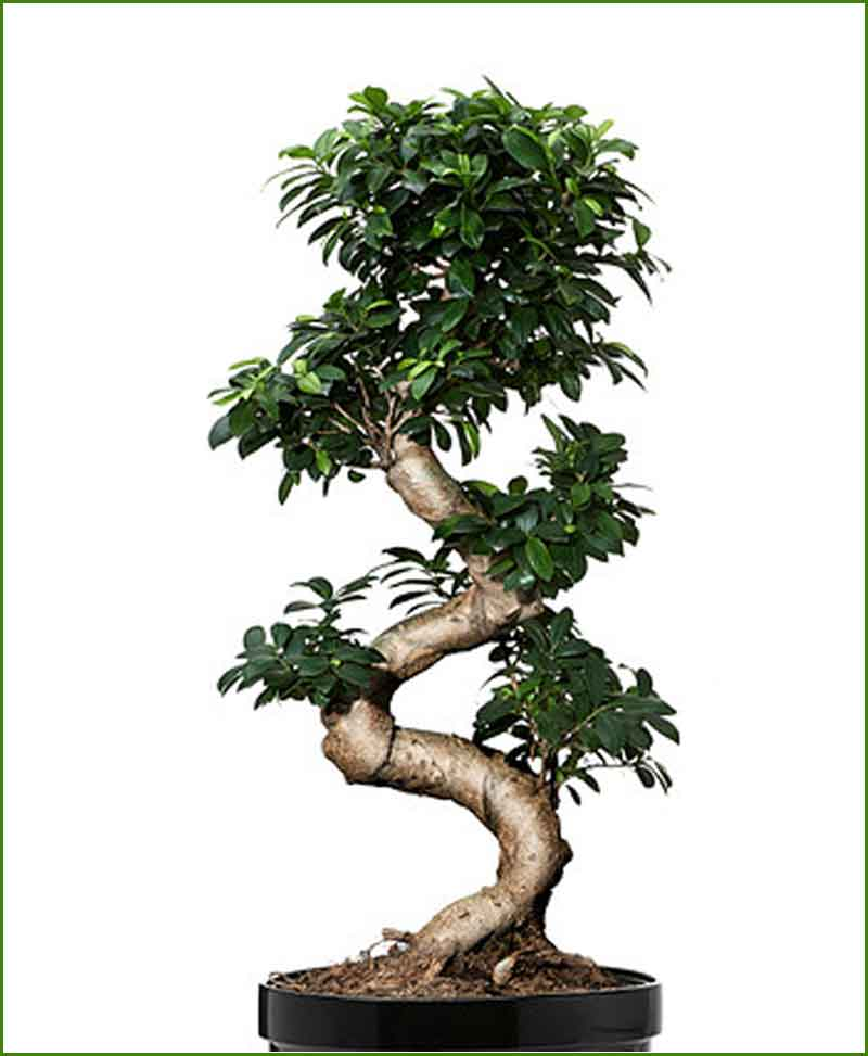 ficus microcarpa ficus ginseng s shape 45 cm. Black Bedroom Furniture Sets. Home Design Ideas