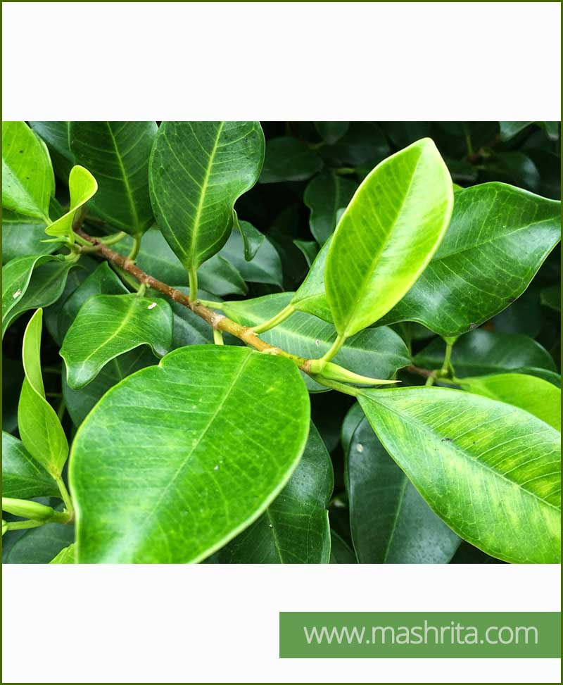 Ficus Nitida (Indian Laurel)