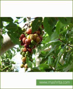Ficus Racemosa (Medi Ficus - Goolar)