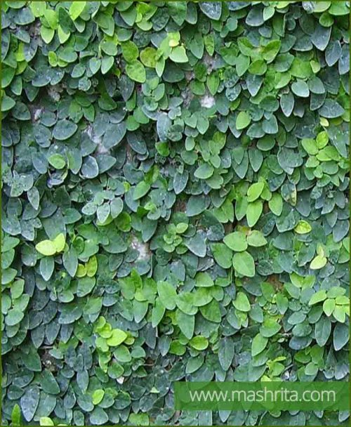 Ficus Repens (Creeping Fig)