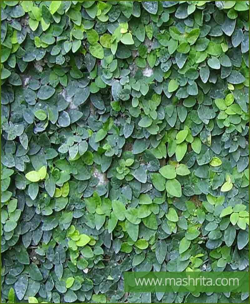 Ficus Repens (Creeping Fig)