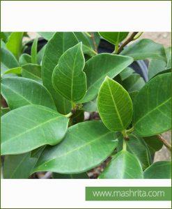Ficus-Retusa_Mashrita_Online_Nursery