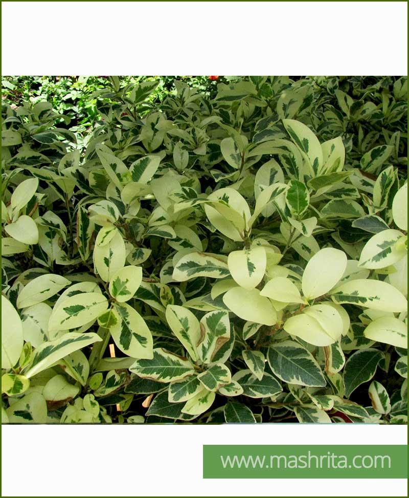 Ficus-Safari_Mashrita_Online_Nursery