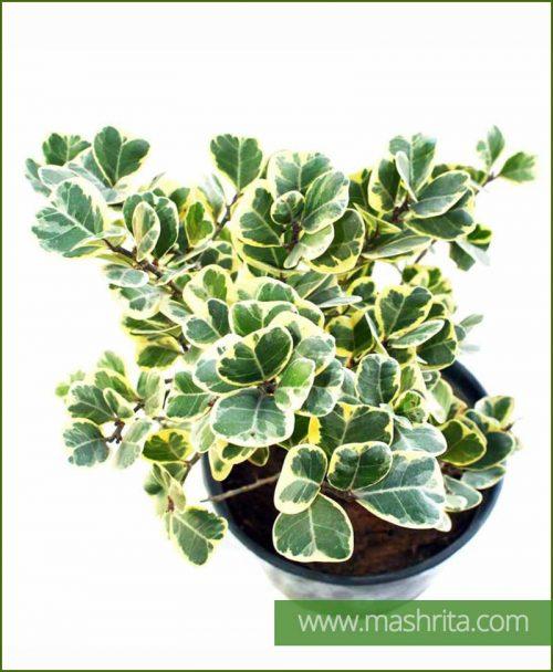 Ficus Triangularis (Variegata)