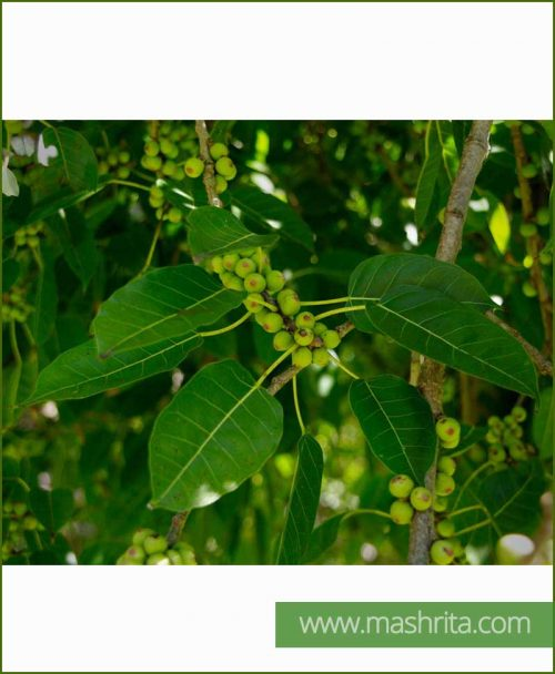 Ficus Virens (Pakad - Pilkhan)