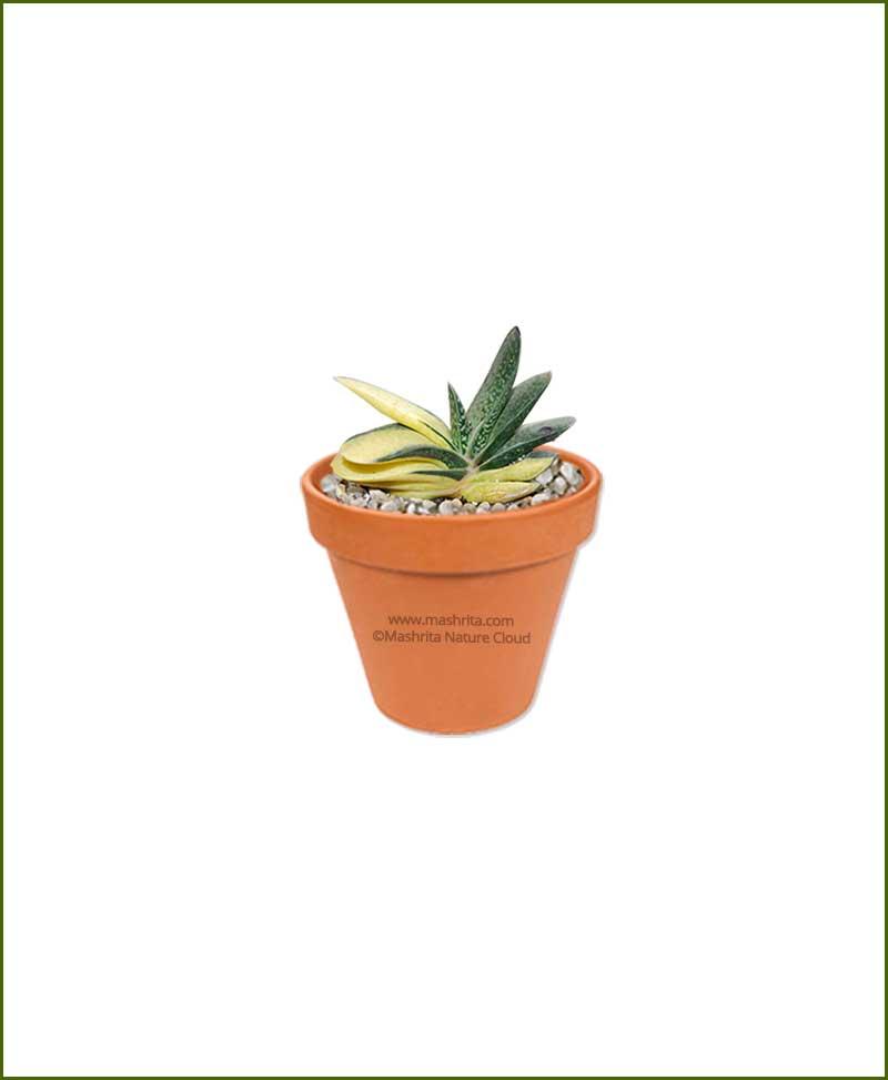 Gasteria-Armstrongii-Variegated-Online-Plant-Nursery