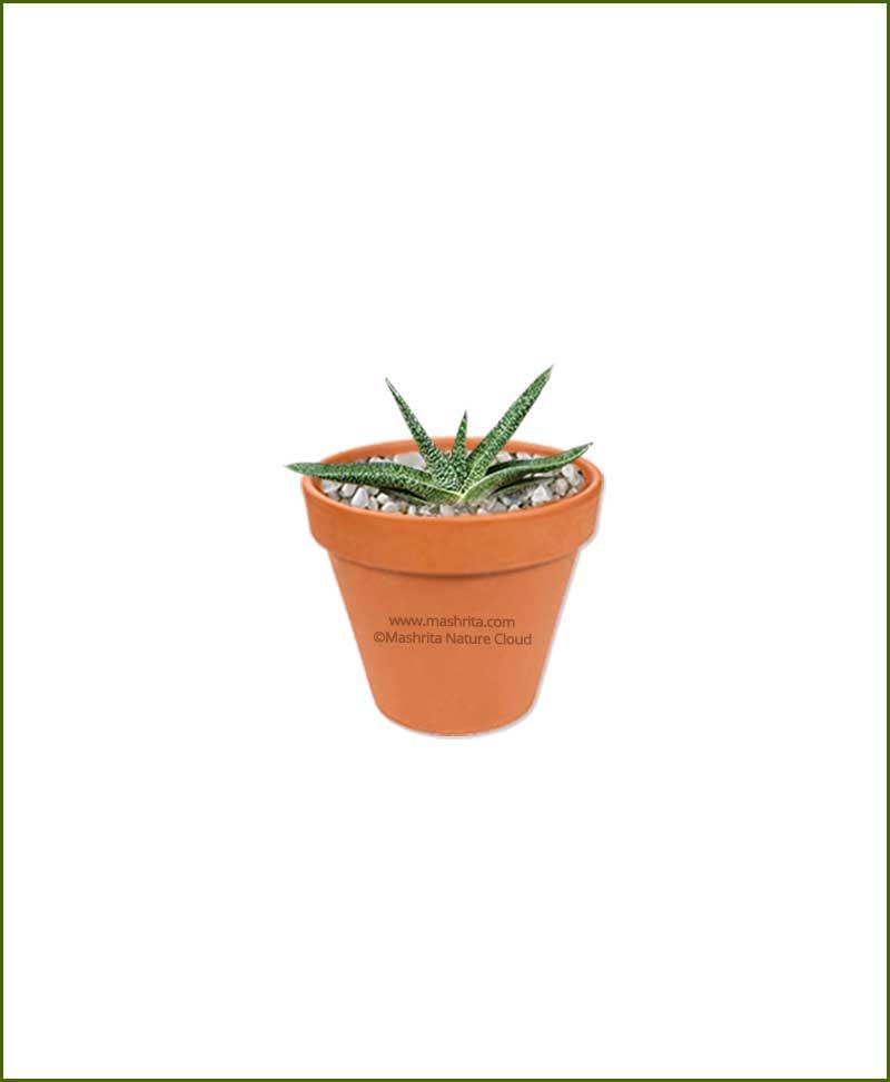 Gasteria-Carinata-Online-Plant-Nursery