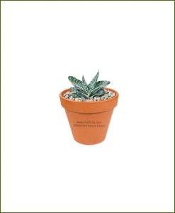 Gasteria-Liliputana-Online-Plant-Nursery