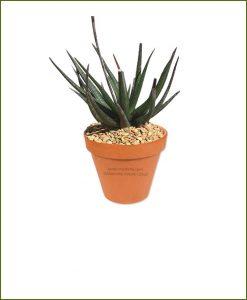 Gastrolea-Midnight-Aloe-Fragilis-Online-Plant-Nursery