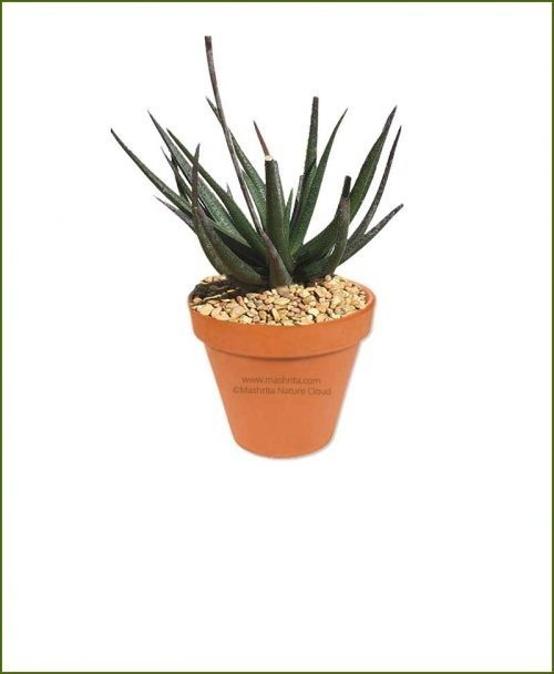 Gastrolea-Midnight-Aloe-Fragilis-Online-Plant-Nursery