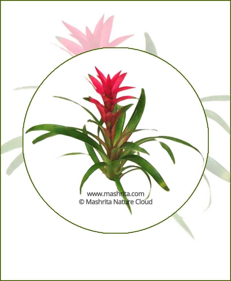 Guzmania-Lingulata-(Green)-Online-Plant-Nursery