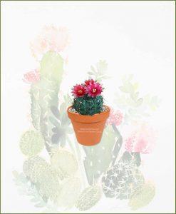 Gymnocalycium-Baldianum-Online-Plant-Nursery