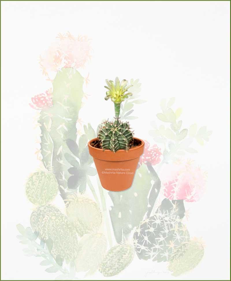 Gymnocalycium-Mihanovichii-Online-Plant-Nursery