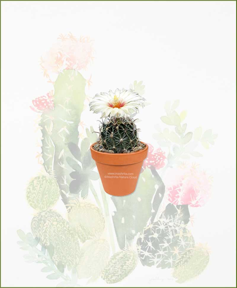 Hamatocactus-Setispinus-Online-Plant-Nursery