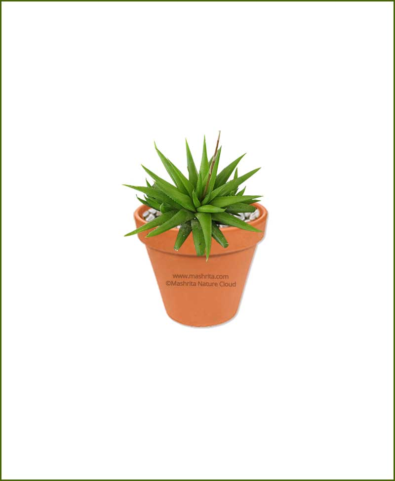 Haworthia-Angustifolia-Online-Plant-Nursery