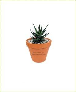 Haworthia-Attenuata-Online-Plant-Nursery