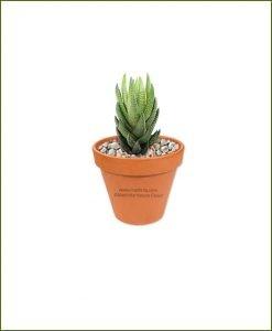 Haworthia-Coarctata-Online-Plant-Nursery