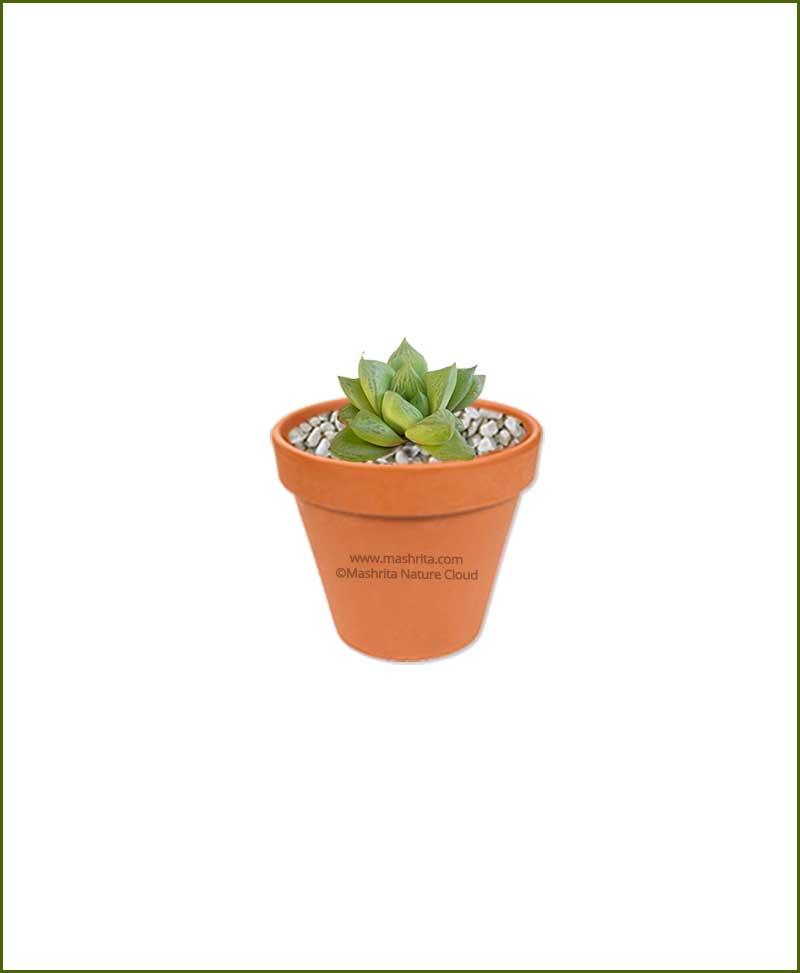 Haworthia-Cuspidata-Online-Plant-Nursery