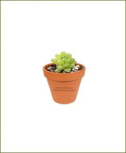 Haworthia-Cymbiformis-Online-Plant-Nursery