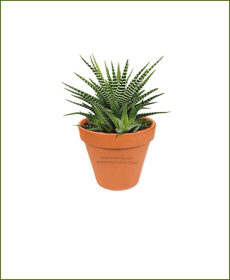Haworthia Fasciata Online Plant Nursery