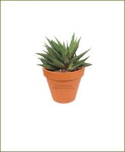 Haworthia-Limifolia-Online-Plant-Nursery