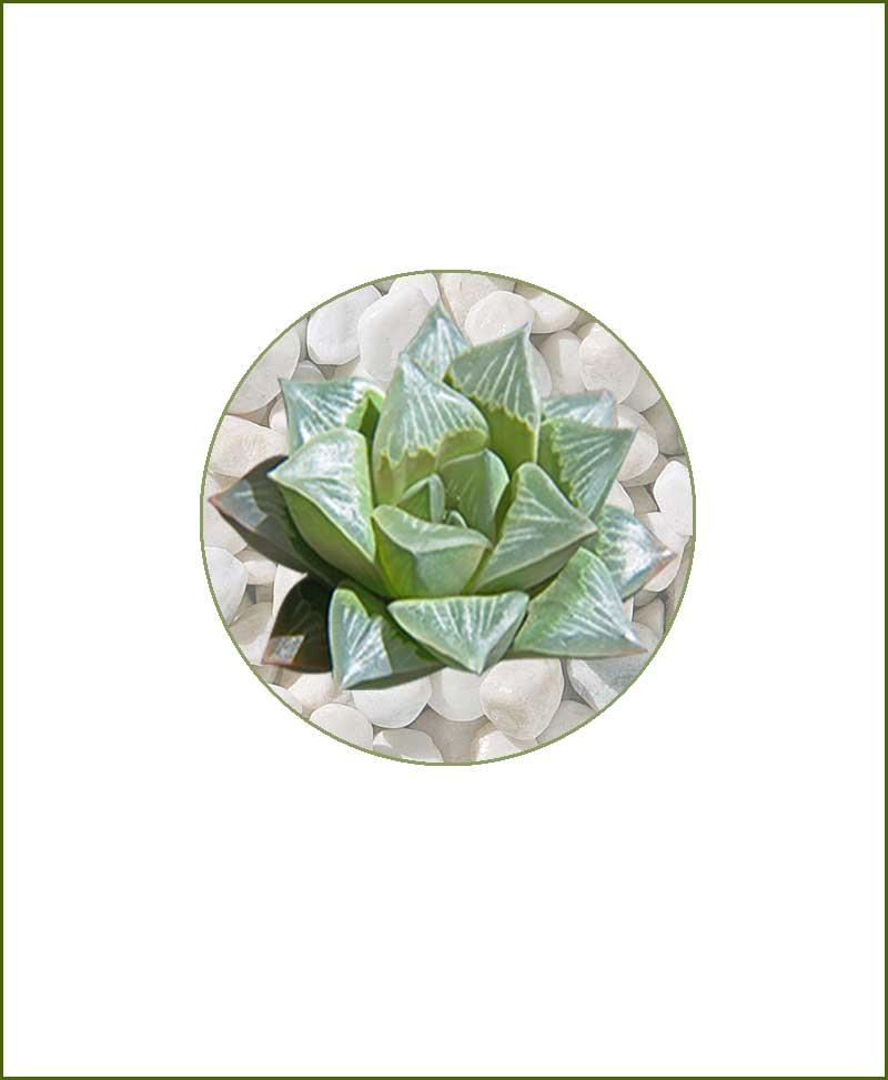 Haworthia-Mutica-Online-Plant-Nursery