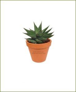 Haworthia-Petite-Resendeana-Online-Plant-Nursery