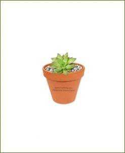 Haworthia-Turgida-Online-Plant-Nursery