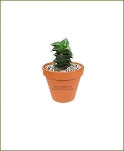 Haworthia-Viscosa-Online-Plant-Nursery