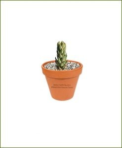 Haworthia_reinwardtii-Online-Plant-Nursery