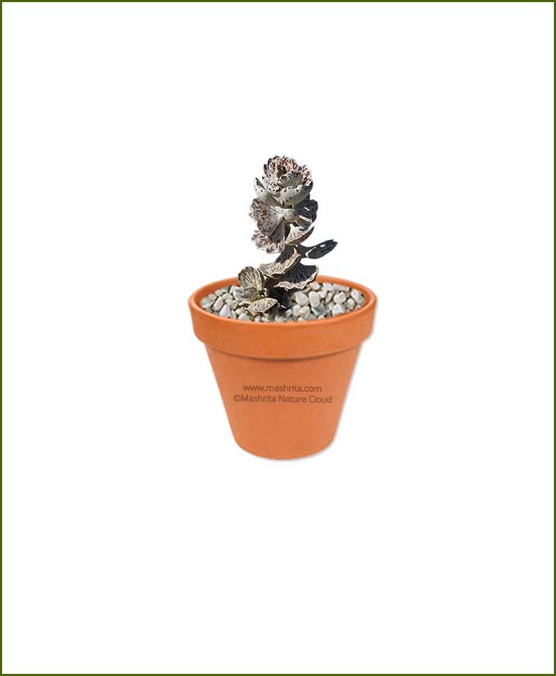 Kalanchoe_rhombopilosa-Online-Plant-Nursery