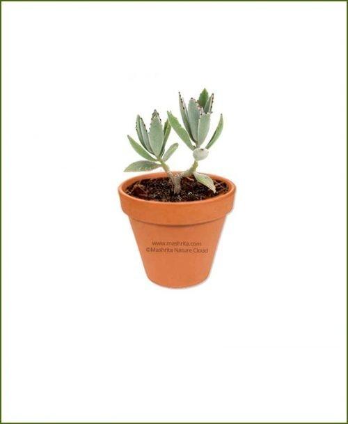 Kalanchoe_tomentosa-Online-Plant-Nursery