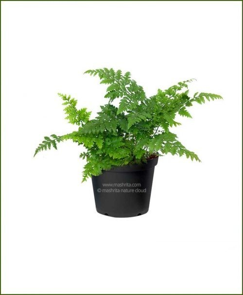 Leather-Leaf-Fern-(Rumohra-Adiantiformis)_Mashrita_Nature_Cloud