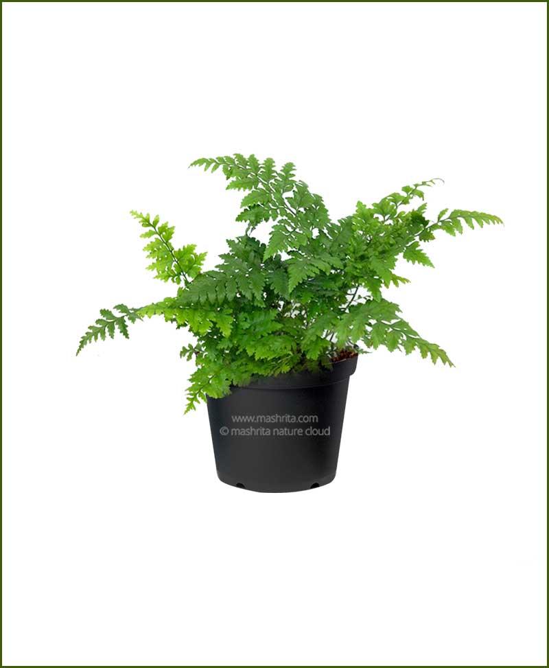 Leather Leaf Fern (Rumohra Adiantiformis)