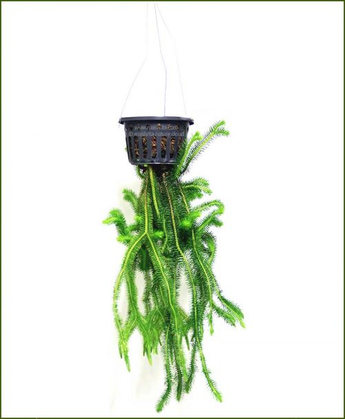 Lycopodium-Scandens_Mashrita_Nature_Cloud