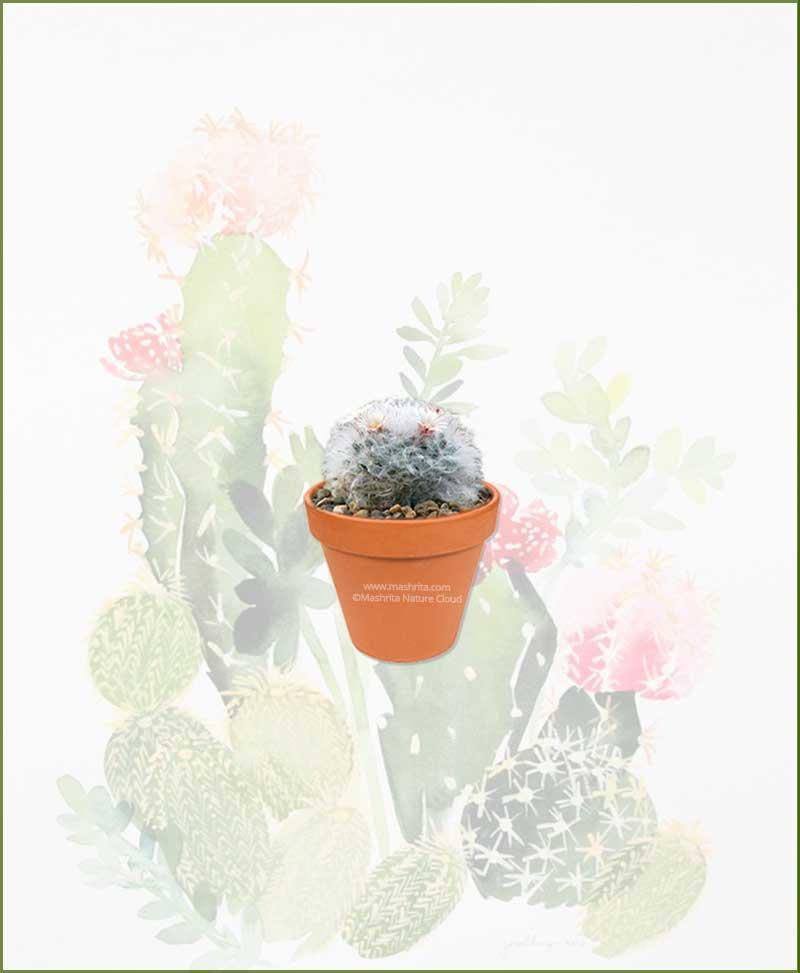 Mammillaria-Bocasana-Online-Plant-Nursery