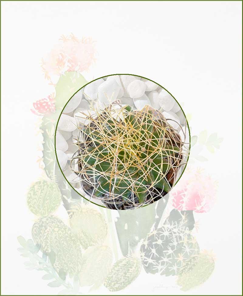 Mammillaria-Camptotricha-Online-Plant-Nursery