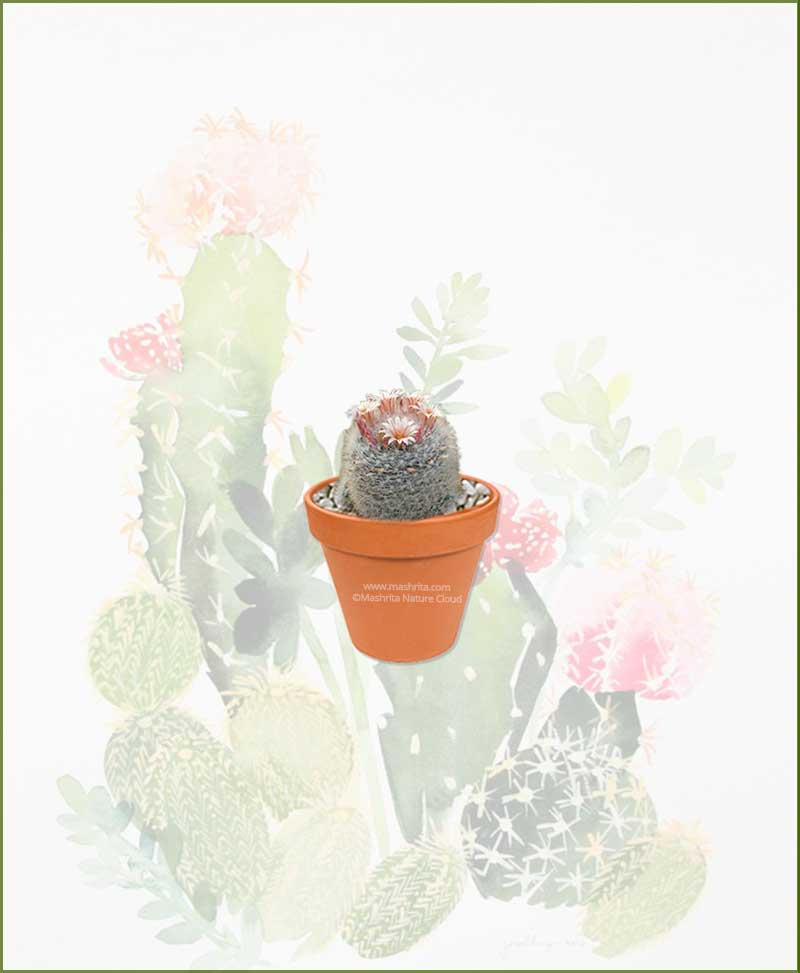 Mammillaria-Candida-Online-Plant-Nursery