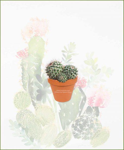 Mammillaria-Compressa-Online-Plant-Nursery