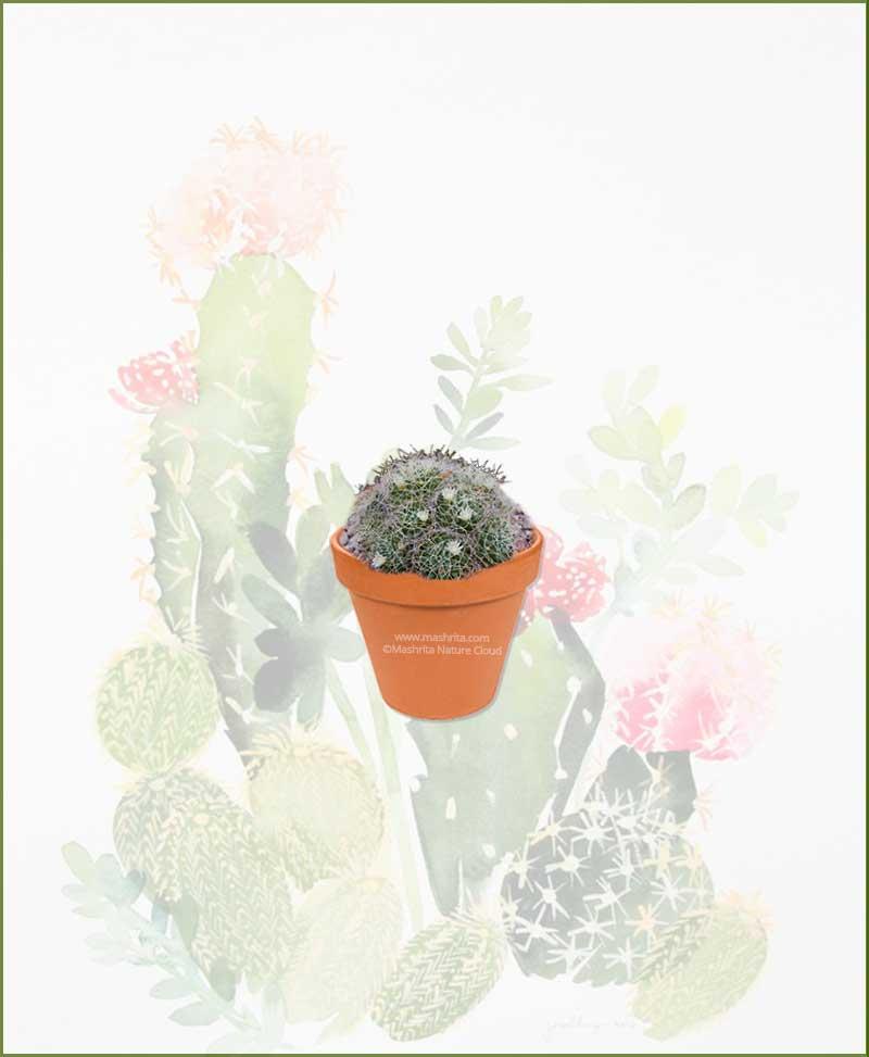 Mammillaria-Decipiens-Online-Plant-Nursery