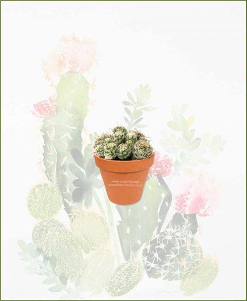 Mammillaria-Gracilis-Online-Plant-Nursery