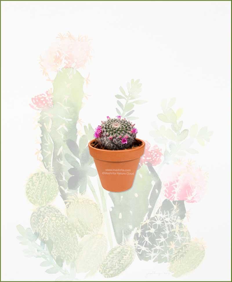 Mammillaria-Hahniana-Online-Plant-Nursery