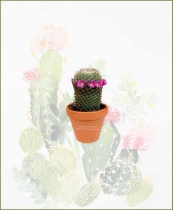 Mammillaria-Matudae-Online-Plant-Nursery