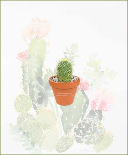 Mammillaria-Prolifera-Online-Plant-Nursery
