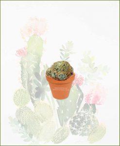 Mammillaria-Schiedeana-Online-Plant-Nursery