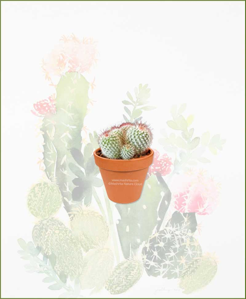 Mammillaria-Spinosissima-Rubra-Online-Plant-Nursery
