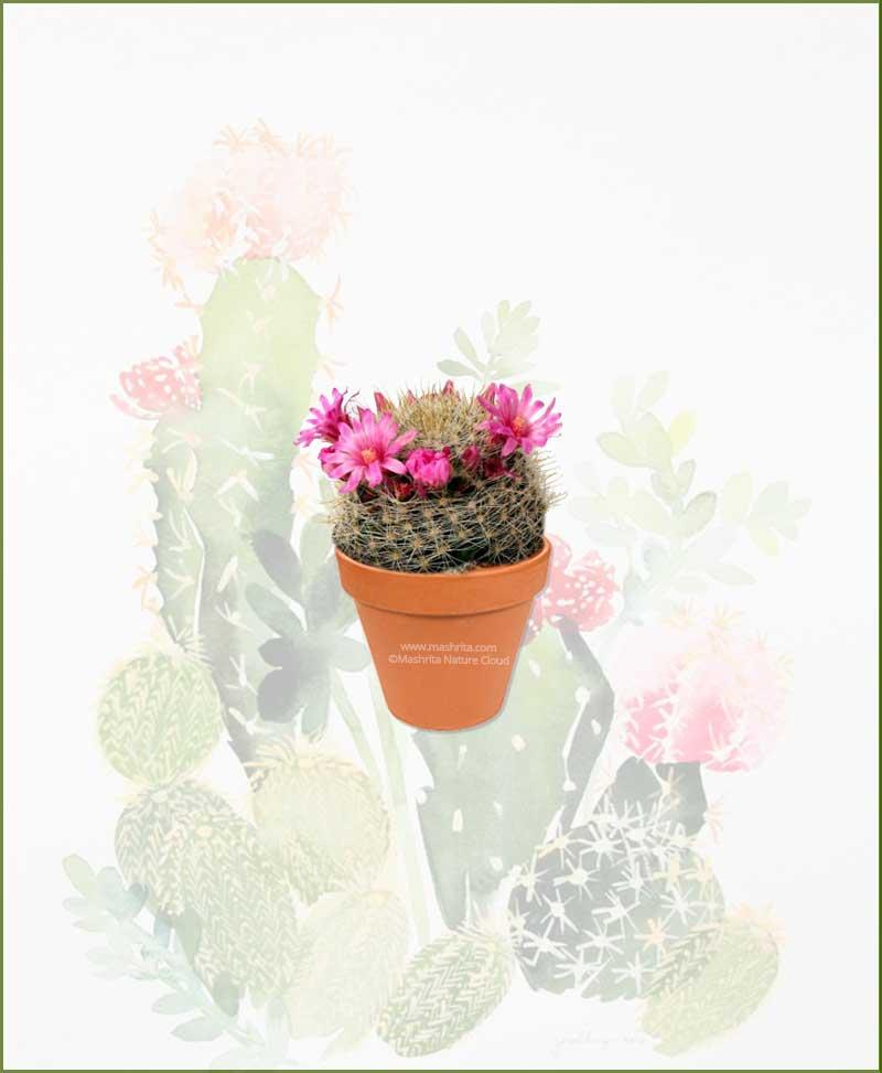 Mammillaria-Zeilmanniana-Online-Plant-Nursery