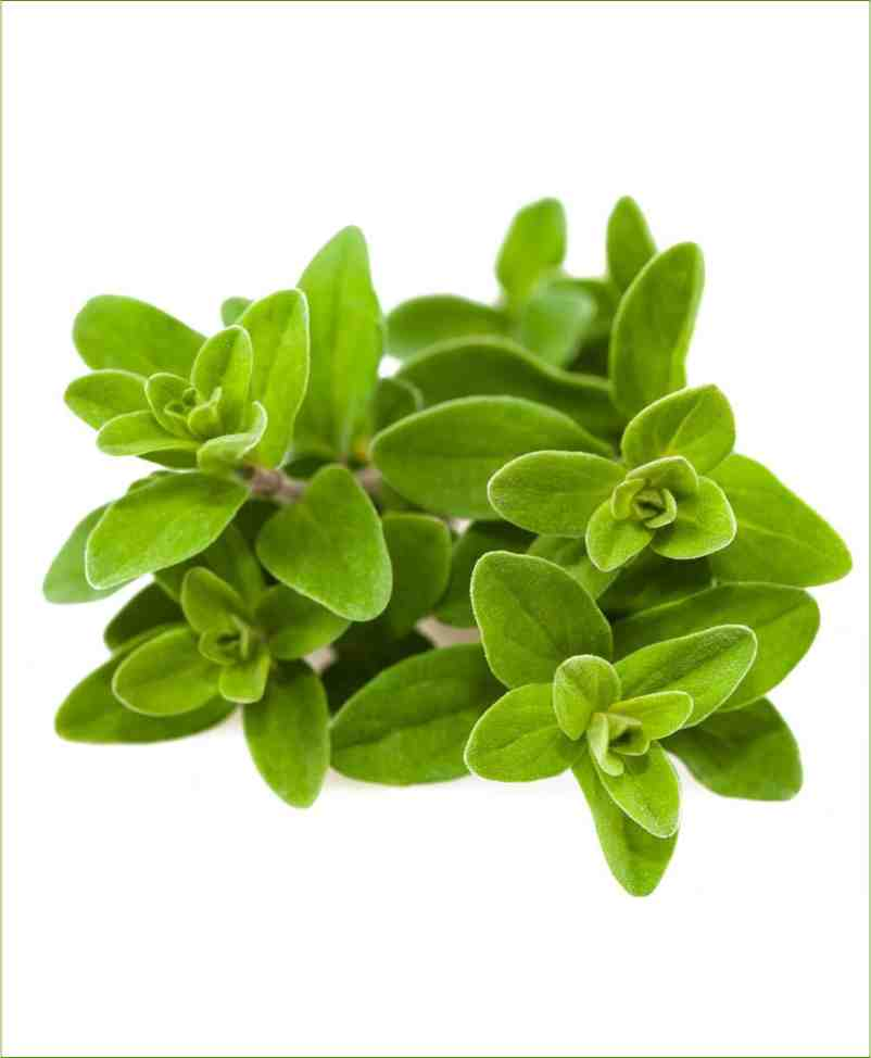 Marjoram_Mashrita_Nature_Cloud