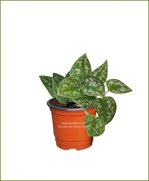 Money-Plant-Scindapsus__Mashrita_Nature_Cloud